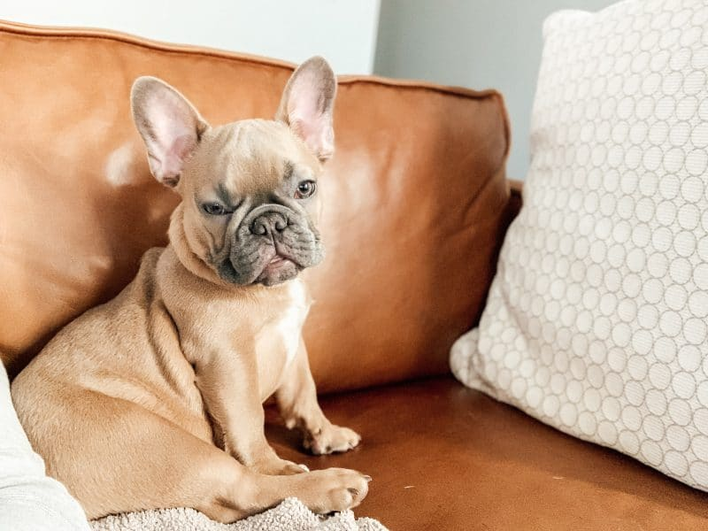 Welcoming Weasley, the French Bulldog | mincerepublic.com