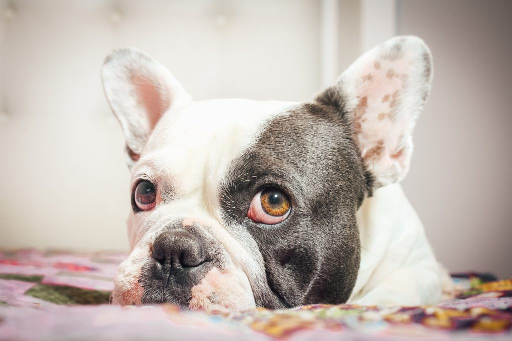 blue and white French Bulldog with brown eyes laying down and looking at the camera