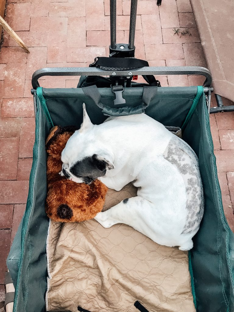 French Bulldog in green wagon with brown potty pad
