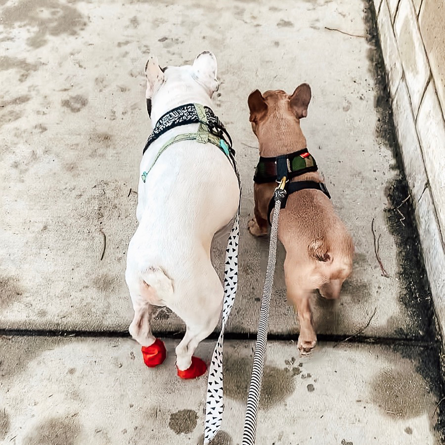 white French Bulldog and brown French Bulldog walking together on leashes